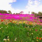 童話村たきのうえ芝ざくらまつり