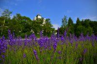 東海大学札幌キャンパスラベンダー畑「一般公開」